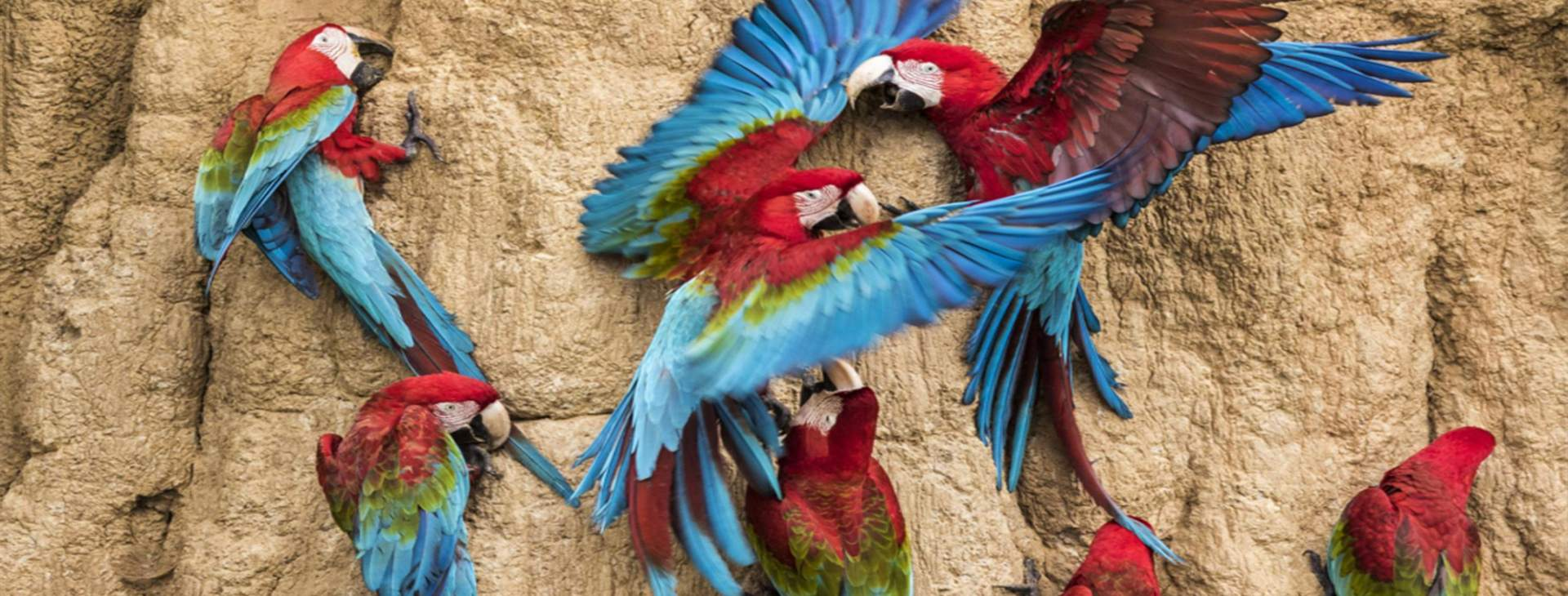 Tambopata Rainforest Macaw Clay Lick Chuncho 2dias - Amazon Wildlife Peru Travel