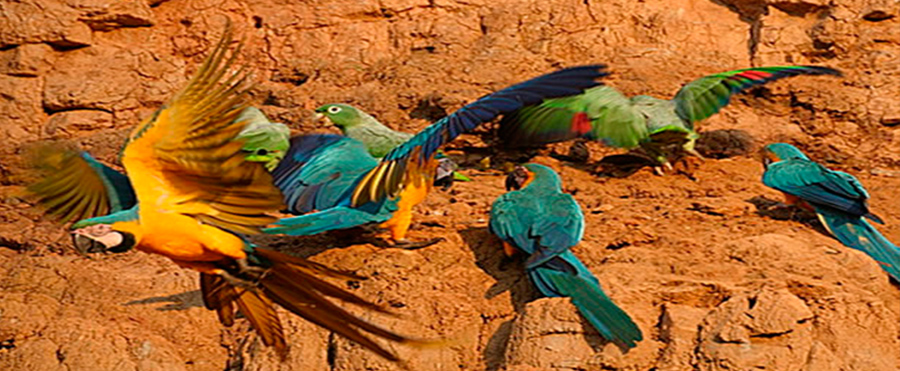 tambopata macaw clay lick - amazon wildlife