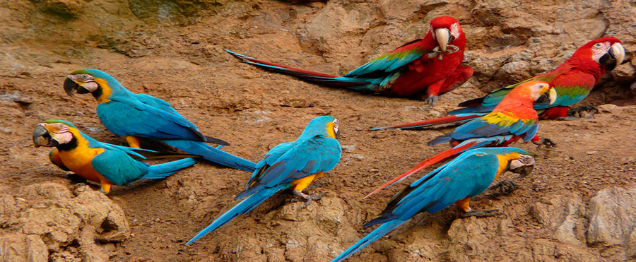 tambopata macaw clay lick - amazon wildlife - sandoval lake lodge