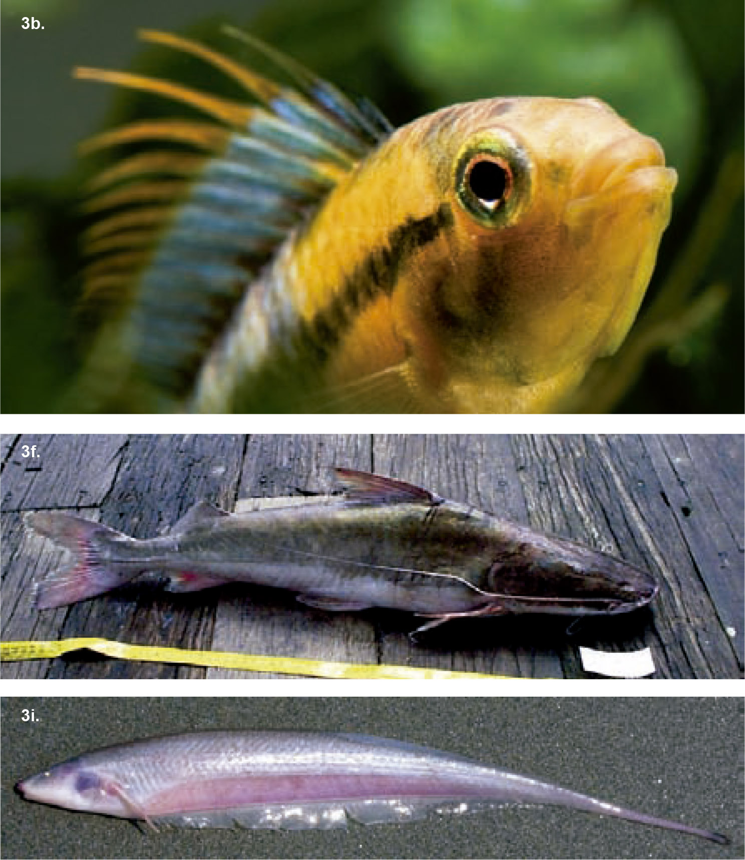 New species of fish live in the amazon amazon wildlife for Fish of the amazon